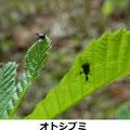 オトシブミ コナラの葉につく 4/23 Km