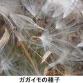 ガガイモの種子 2/22