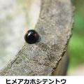 ヒメアカホシテントウ 10/18 ナミテントウの半分の大きさ