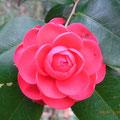 ツバキ(千重咲き)2/20 藪の中に艶やかに咲く 園芸種