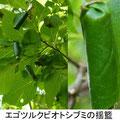 エゴツルクビオトシブミの揺籃 5/19 エゴノキの葉を巻く