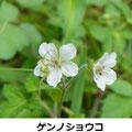 ゲンノショウコ 8/30  花にハナグモがいる