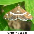 シロオビノメイガ 8/24