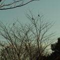 ツグミ 1/25 日の入り前に谷戸南西部にある灌木に集まってくる