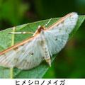 ヒメシロノメイガ   7/9