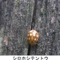 シロホシテントウ 7/1