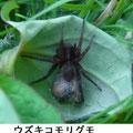ウズキコモリグモ 5/2 嚢嚢を持つ