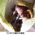 ウスタビガ繭内の蛹殻  2/19