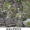 オオシマザクラ 3/22 ヤマザクラより早く開花