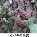 ハンノキの果実 2/25 松かさ状