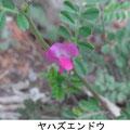 ヤハズエンドウ 4/6 俗称 カラスノエンドウ
