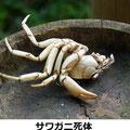 サワガニの死体 9/23 サギの食痕のようだ