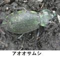 アオオサムシ 1/24 越冬個体の死体 関東で降雪がある寒い日