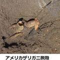 アメリカザリガニ脱殻 3/20 外来種