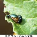 コガタルリハムシ交尾 3/25 Km ギシギシの葉