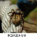 ネコハエトリ♀ 11/28