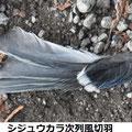 シジュウカラ次列風切羽 1/14 谷戸にハイタカが来ている