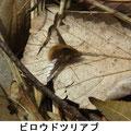 ビロウドツリアブ 3/9