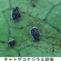 チャトゲコナジラミ幼虫  5/23  Km ヒサカキにつく
