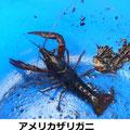 アメリカザリガニ 4/23 外来種