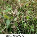 コバノカモメヅル 11/13 Kk
