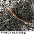キリウジガガンボの交尾 9/16 上♀ 下♂
