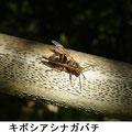 キボシアシナガバチ 10/22