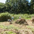 刈り置きされていたヨシを集める