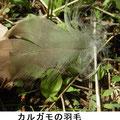カルガモの羽毛 3/24 谷戸内止水域に来ている