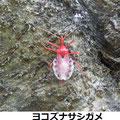 ヨコズナサシガメ 4/23 脱皮直後の鮮やかな赤色 上に抜殻