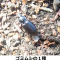 ゴミムシの1種 12/29 寒い中、地表を元気に歩き回っている