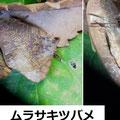 ムラサキツバメ 12/19 越冬個体