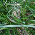 写真4 チカラシバの中に新しいカヤネズミの巣