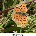 キタテハ 4/7 翅が傷んだ越冬個体