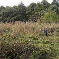 写真3 カナムグラ刈り取り作業