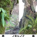 ノキシノブ 3/8 谷戸内の枯木につく