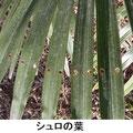 シュロの葉 2/24 葉を広げる前 に虫に食われ、同じ位置に規則正しく穴が開いている