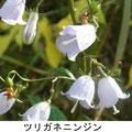 ツリガネニンジン 11/22