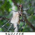 キムジノメイガ 9/2 ジョロウグモに捕食される