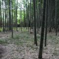 3・谷戸左岸 竹炭の会が管理する孟宗竹林
