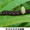 セスジスズメ幼虫 9/29 寄生バチの繭がつく