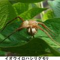 イオウイロハシリグモ♀ 8/3 Km 卵嚢を運ぶ