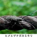 ヒメヒゲナガカミキリ  7/5