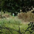 写真1 60~80m付近 ヨシ刈り取り作業