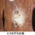 ヒラタグモの巣 2/18 スギの樹皮の裏