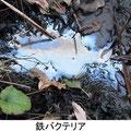 鉄バクテリア 12/9 水面に油状にみえる鉄の酸化被膜をつくる