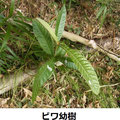 ビワ幼樹 12/31 野鳥が種を谷戸内に運ぶ