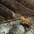 キンヒバリ幼虫  1/14  Km