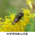 ツマグロキンバエ 10/13 セイタカアワダチソウの花につく