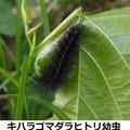 キハラゴマダラヒトリ幼虫 6/24